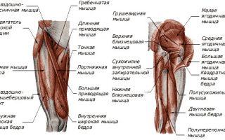 Коленный сустав анатомия человека