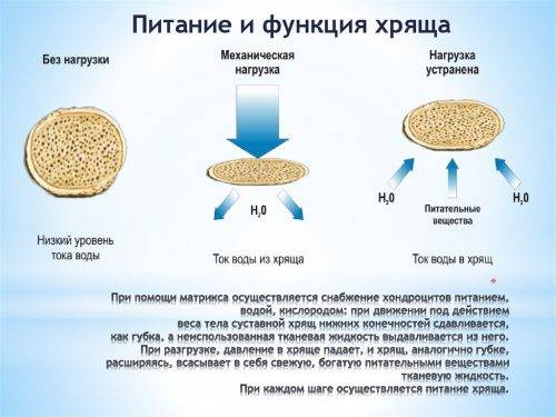 Питание и функция хряща