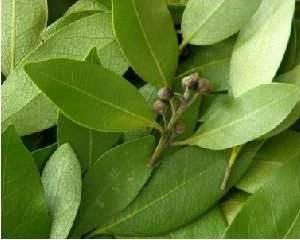 Сушеный лист используют для очистительных оздоровительных процедур для суставов