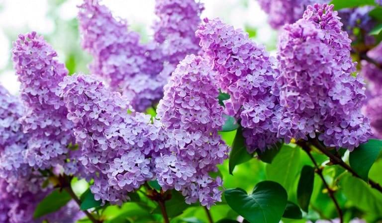Настойка из цветка сирени выводит из организма микрокристалы которые пагубно влияют на жидкость в суставах