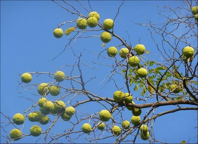 Маклюра(адамово яблоко)