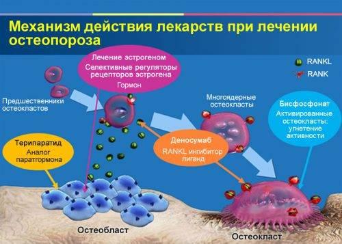 Действие препаратов при остеопорозе