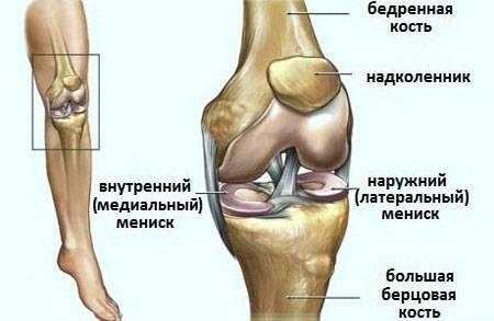 Строение коленных суставов