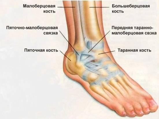 Связки, мышцы и кости коленного сустава