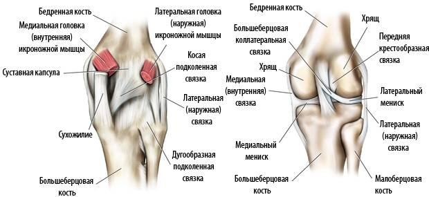 Связки колена вид сзади