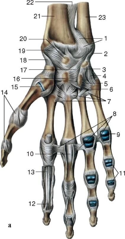 Изображение - Суставы кисти мышцы 5b6c16be7d8975b6c16be7d8e0