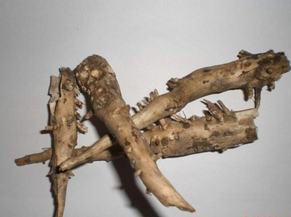 Лечение корнем подсолнуха